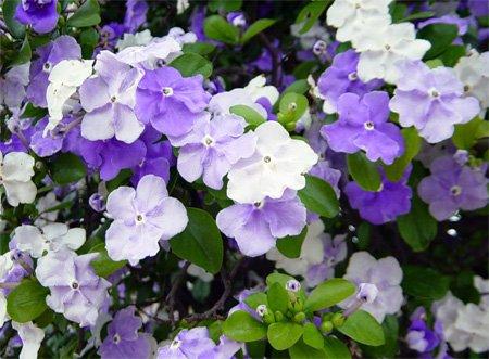 брунфельсия цветёт