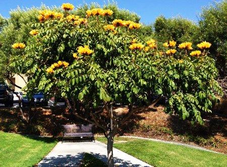Тюльпановое дерево, уход в домашних условиях