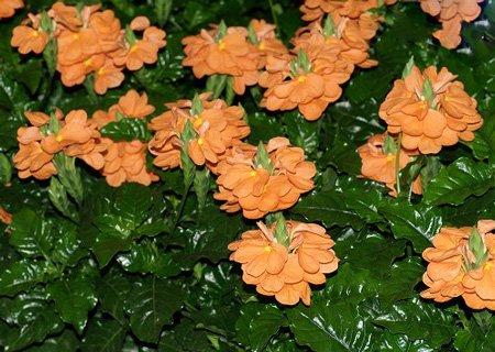 Цветок кроссандра - уход и 58