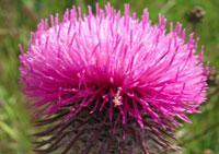 чертополох цветочный гороскоп
