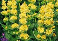 горечавка желтая цветочный гороскоп