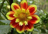 георгин цветочный гороскоп