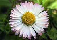 цветочный гороскоп маргаритка