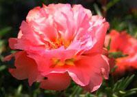 цветочный гороскоп портулак