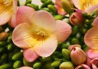 цветочный гороскоп фрезия