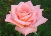 гороскоп роза