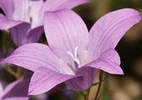 цветочный гороскоп колокольчик