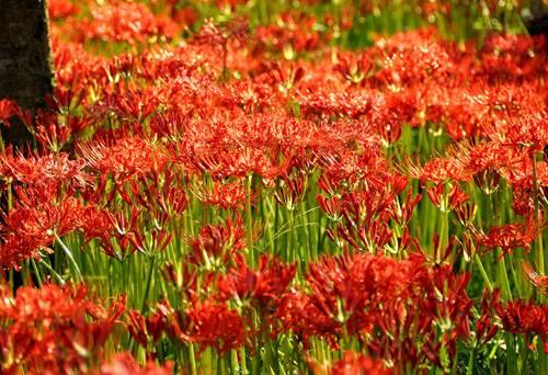 Ликорис цветок