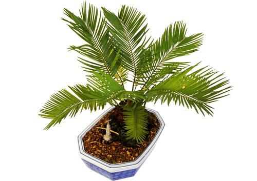 комнатная пальма фото