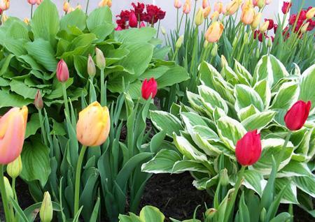 С чем сажать тюльпаны