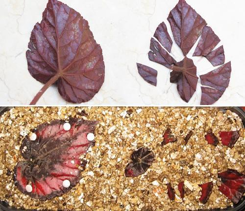 Размножение бегонии королевской листом пошаговый рецепт