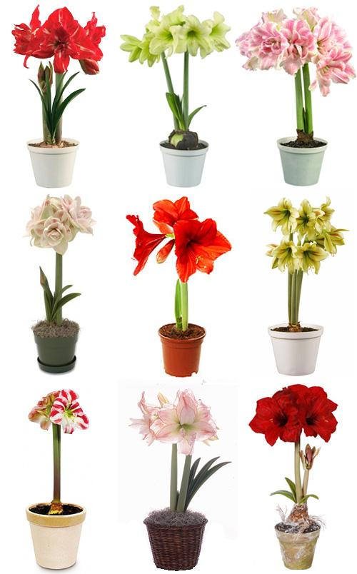 1000 images about amaryllis on pinterest for Amaryllis deco