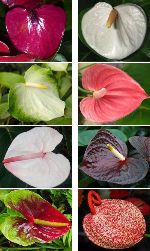 Цветы антуриум всех видов