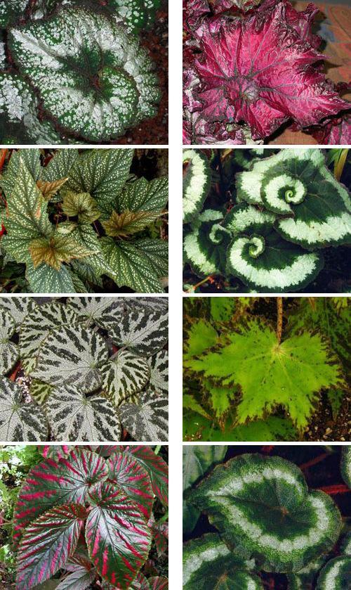 Декоративно лиственная бегония уход в домашних условиях