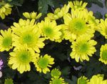 komnatnie_chrysantemum_комнатные_хризантемы