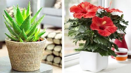 Цветы привлекающие в дом мужчин