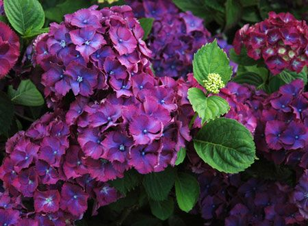 http://bookflowers.ru/images/stories/legendiimifi/hydrangea_legenda-fakty.jpg