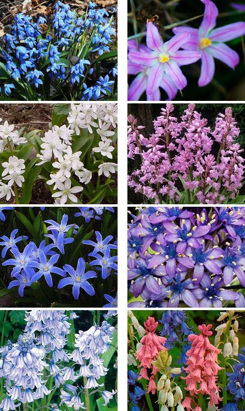 цветы фото сцилла