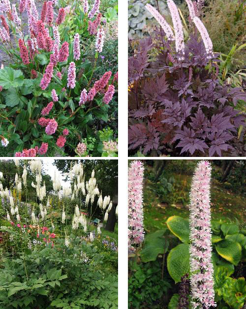 Особенности выращивания клопогона: посадка и уход в открытом грунте
