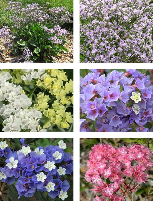 цветы кермек