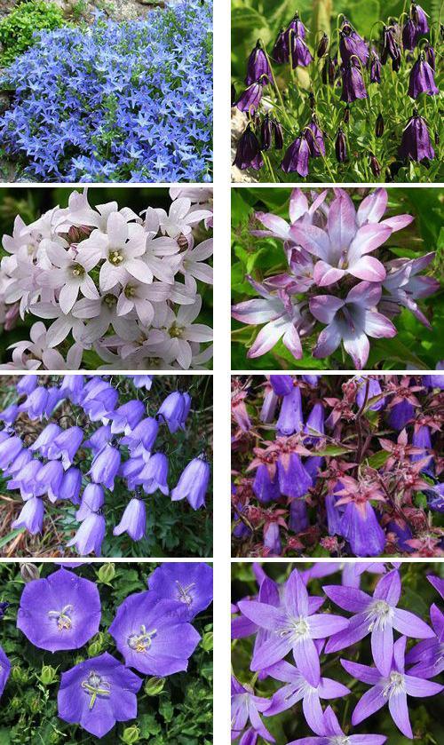 Цветы колокольчики многолетние сорта