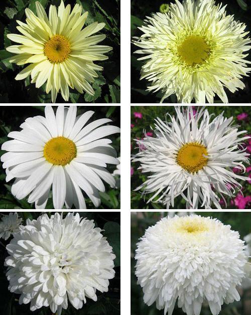 Цветок нивяник и уход за ними