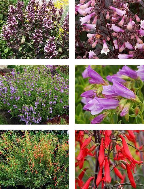 цветы пенстемон  выращивание