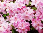 cvety_maya_rododendrony_выставка_цветов