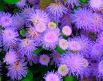 Однолетние цветы и растения, садовые цветы