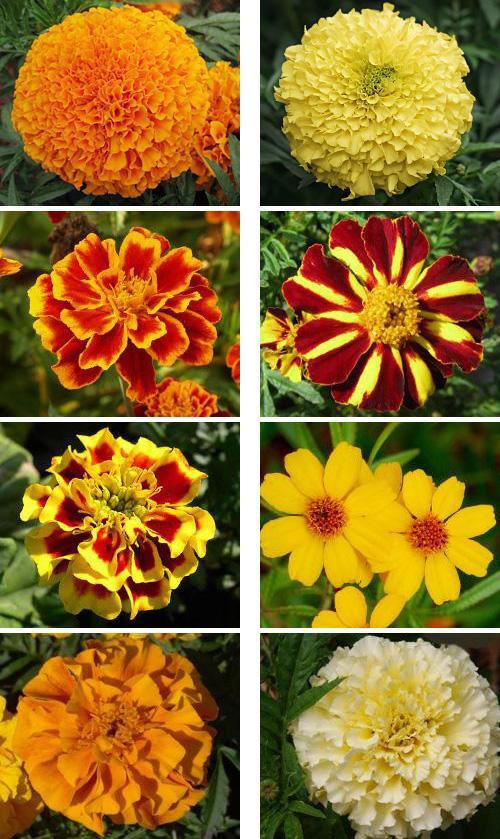 Цветы бархатцы все виды