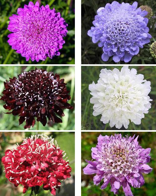 цветы фото скабиоза
