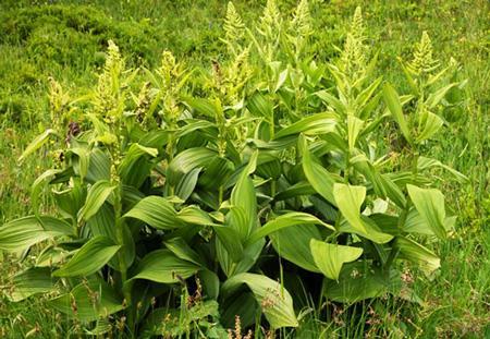 чемерица фото растения