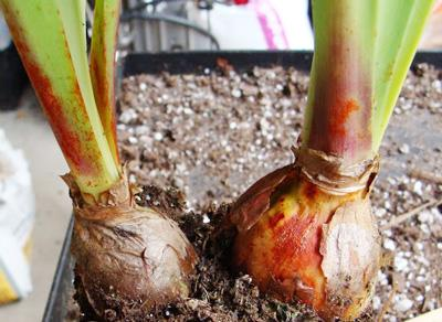 лечение растений от красного ожога