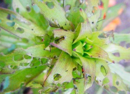 На лилиях красные жуки