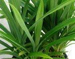 листья пандануса