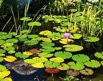 пруд засаженный цветами