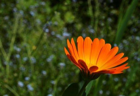 оранжевая календула