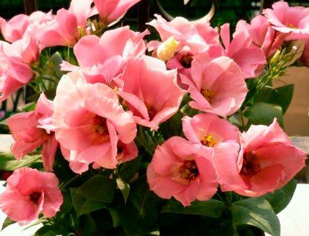 эустома комнатная розовая