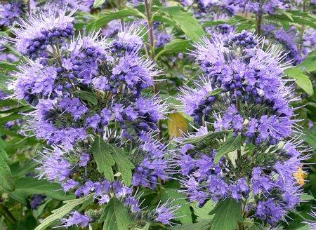 кариоптерис цветы
