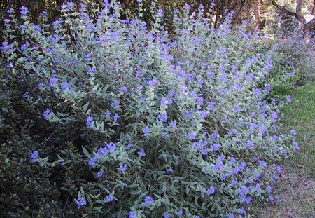 кариоптерис цветы на кусте