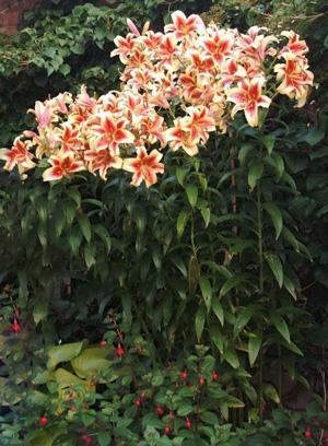 лилии от гибриды фото
