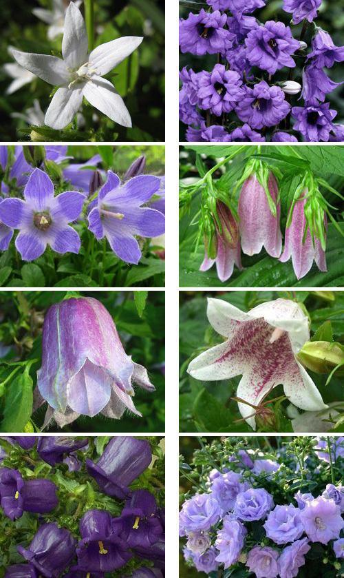 колокольчики садовые многолетние сорта
