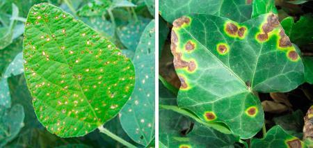 виды пятнистость листьев фото