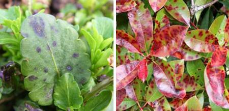 пятнистость листьев растений фото