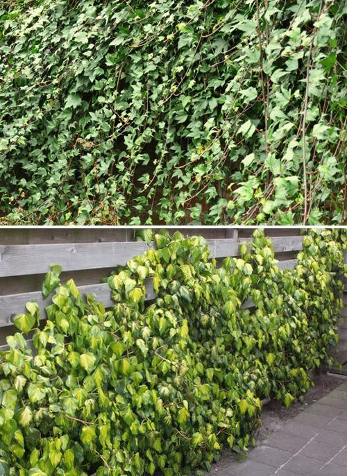 плющ в саду фото